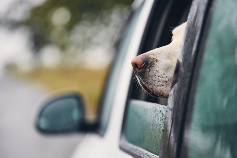 Curious dog travel by car